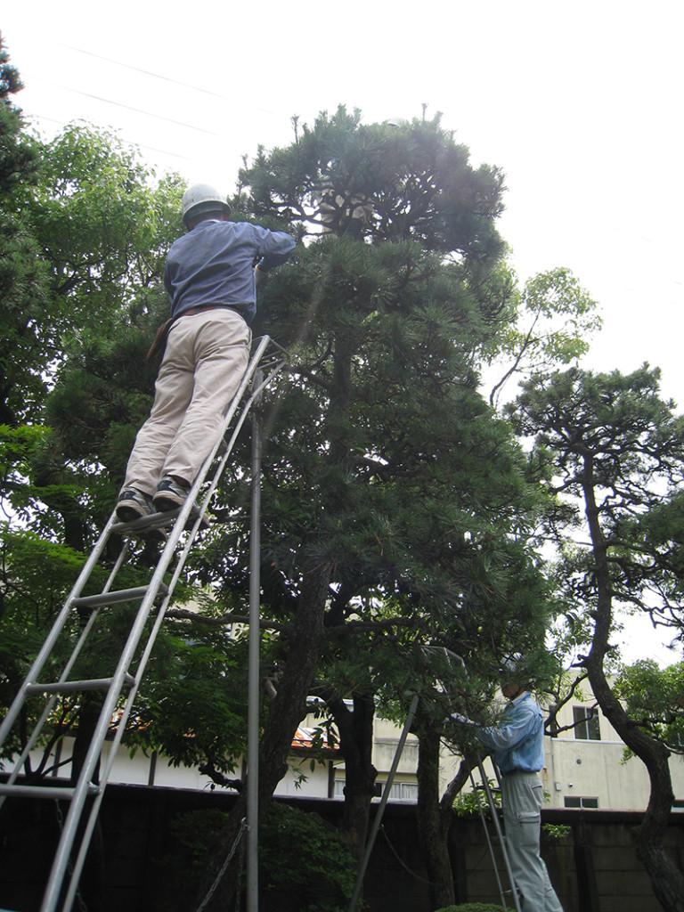 庭園実技講習「松と高木の剪定」の画像